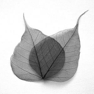 Black Bodhi Tree Skeleton Leaves