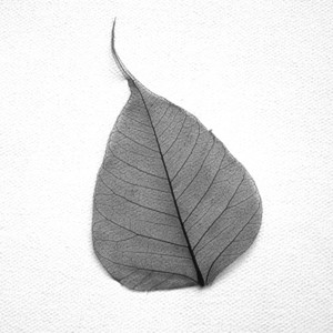 Black Bodhi Tree Skeleton Leaf