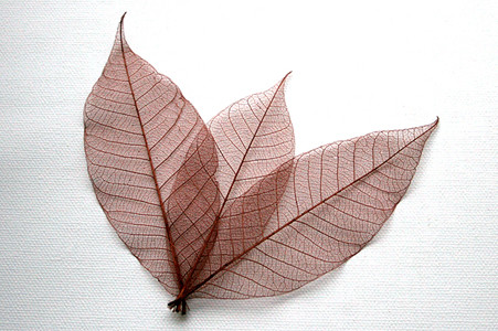 Brown Skeleton Leaves