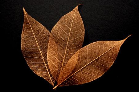 Copper Skeleton Leaves for sale