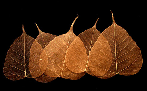 Copper Bodhi Tree Skeleton Leaves for sale