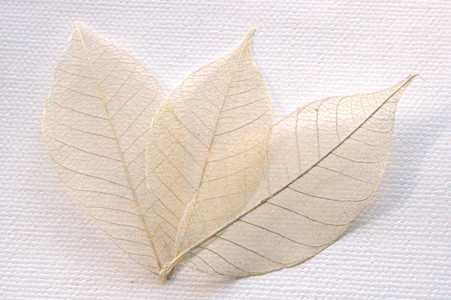 Ivory Skeleton Leaves for sale