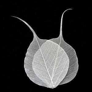 Ivory Bodhi Tree Skeleton Leaves