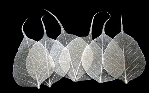Ivory Bodhi Tree Skeleton Leaves for sale