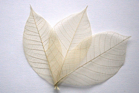 Natural Skeleton Leaves for sale