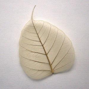 Natural Bodhi Tree Skeleton Leaf for sale