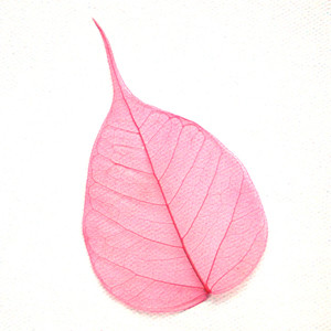 Pink Bodhi Tree Skeleton Leaf for sale