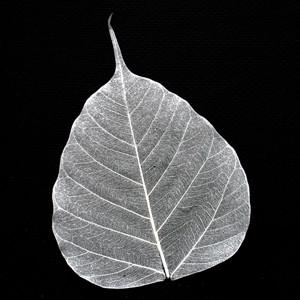 Silver Bodhi Tree Skeleton Leaf
