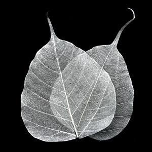 Silver Bodhi Tree Skeleton Leaves for sale