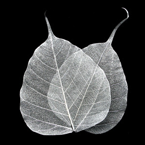 Silver Bodhi Tree Skeleton Leaves