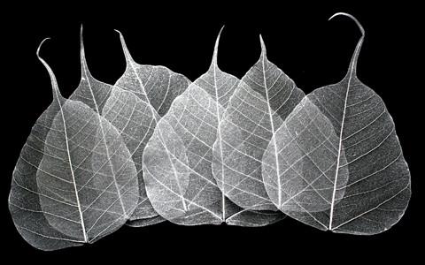 Silver Bodhi Tree Skeleton Leaves for sale
